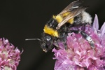Bombus hortorum